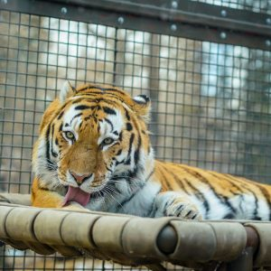 adult tiger lying in cage